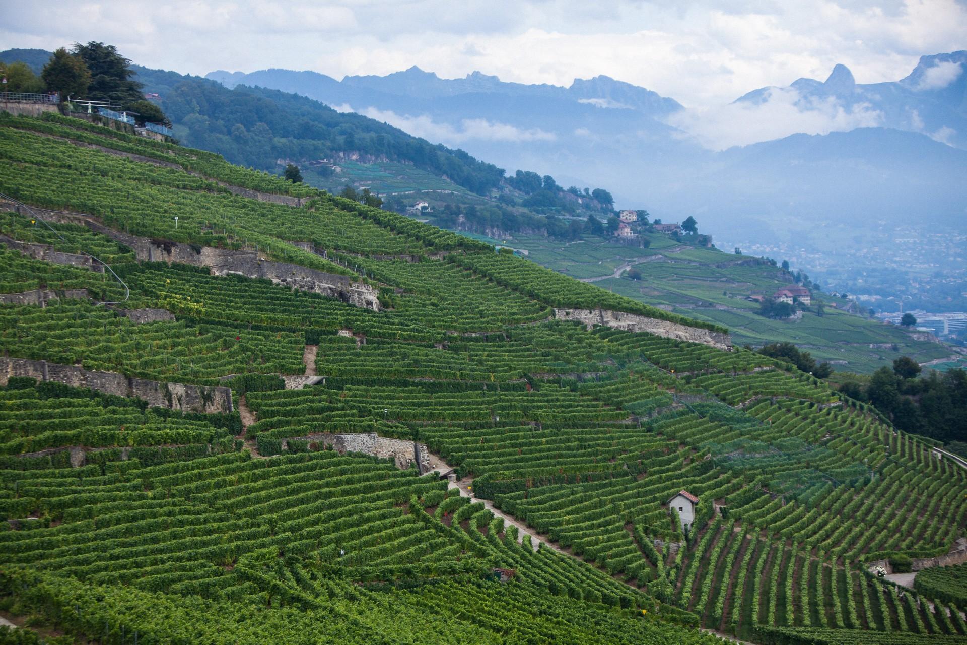 Wijnranken langs het meer van Genève