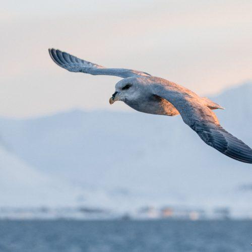 Noorse Stormvogel, Spitsbergen