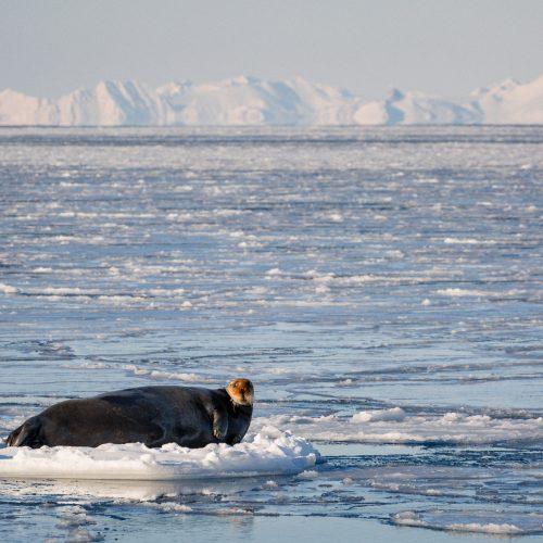 Baardrob in Forlandsundet, Spitsbergen