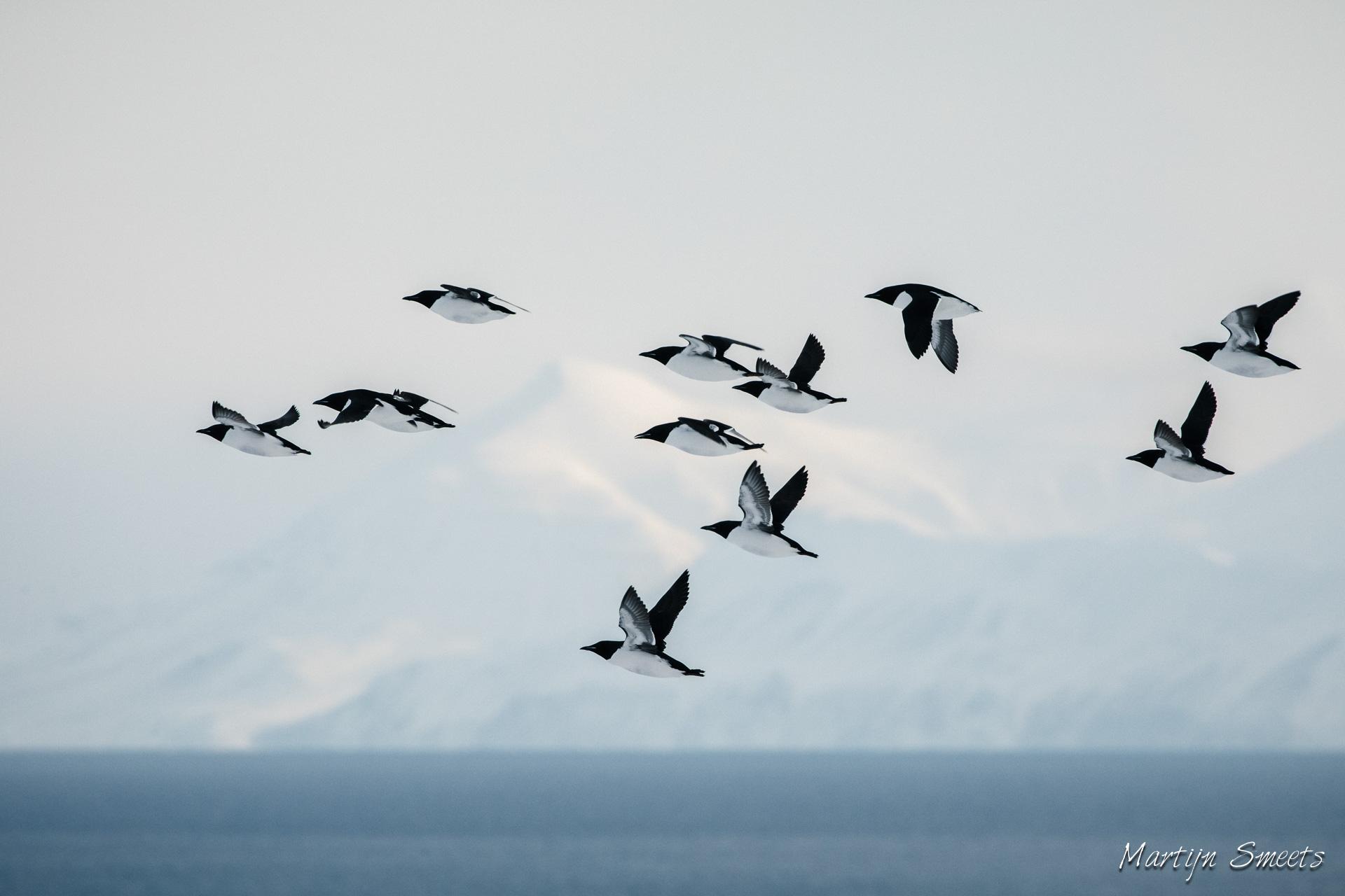 De aankomst van Zeekoeten bij Alkhornet, Spitsbergen